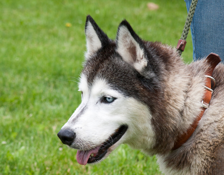 Husky Dog Adoption Organization